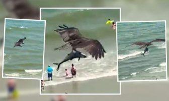 Impactante! águila caza un tiburón y se lo lleva volando.